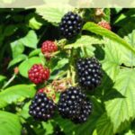 Tips for growing Raspberries, Blackberries and Currants