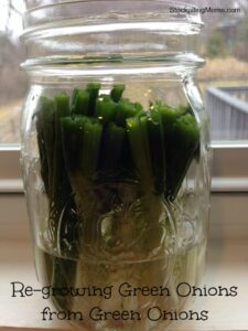 Did you know you can re-grow green onions from green onions?  Yes, you can!  Click here!