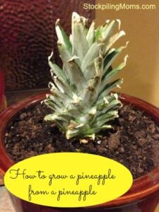 Did you know you can re-grow a pineapple from a pineapple?  Yes, you can!  Click here!