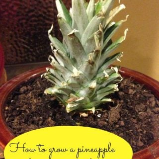 Regrowing a Pineapple from a Pineapple