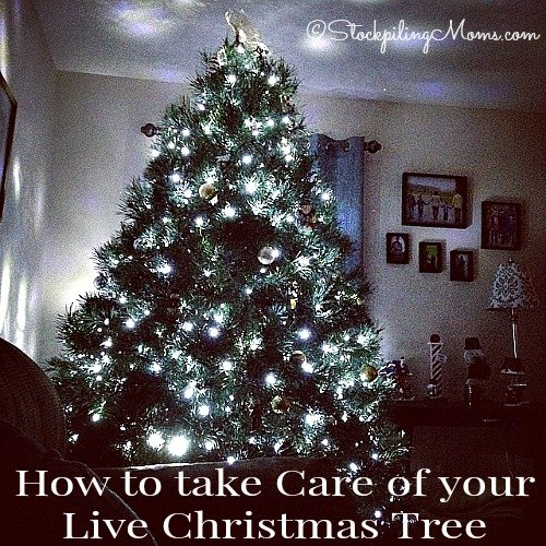 How to take Care of your Live Christmas Tree is really simple, but you must maintain doing it or your tree will suffer.