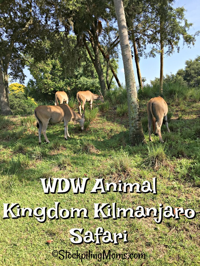 Disney World Animal Kingdom Kilmanjaro Safari ride is one of the best! It is perfect for the whole family and a must do for my family when we go.