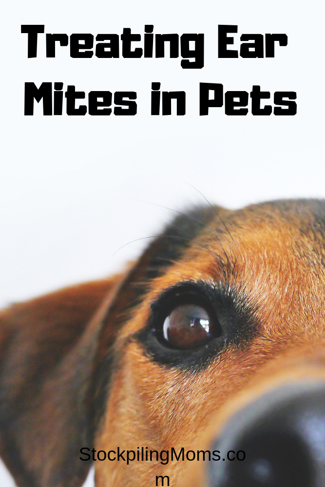 Ear mites are a very common illness that happens commonly to domesticated animals. They can be a minor issue or, they can cause permanent problems. Many people are unaware of ear mites until it happens to their pets.